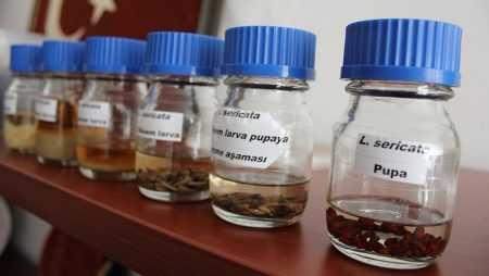 Sinek Larvaları Hastalara Şifa Olmaya Başladı