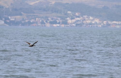 Gediz Deltası'nda yeni bir kuş türü daha keşfedildi
