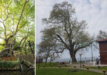 Tarihe Tanıklık Eden 9369 Ağaç Tescillendi
