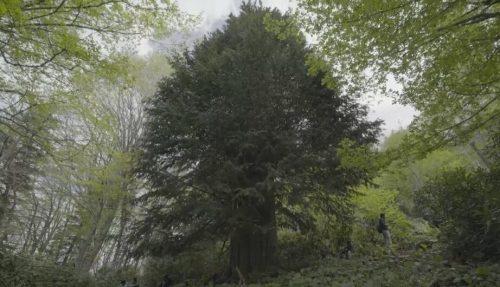 Dünyanın En Yaşlı Porsuk Ağacı Zonguldak'ta