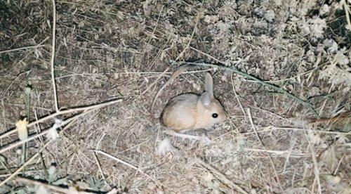 Bitlis'te Görülen Kanguru Faresi Şaşkınlık Yarattı