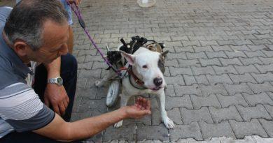Felç Olan Sokak Köpeği Yürüteçle Hayata Tutundu