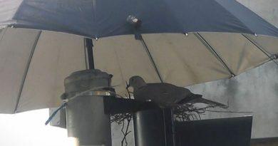 Kumru Ve Yavrularını Şemsiyeyle Korudular