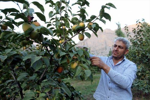 Hakkari'de Ilıman İklim Meyveleri Yetiştirilmeye Başladı