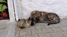 Aç Kalıp Bahçeye Sığınan Kediye Evin Köpeği Sahip Çıktı