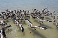 İzmir Kuş Cenneti'nde 18 Bin Yavru Flamingo (Harika Fotoğraflar)