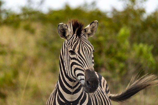 Kenya'da Öksüz Kalan Yavru Zebraya Büyük İncelik