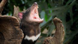 Tazmanya Canavarı 3 Bin Yıl Aradan Sonra Anayurdu Avustralya'ya Geri Döndü
